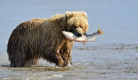 Regent Seven Seas Cruises grizzly bear with salmon in mouth