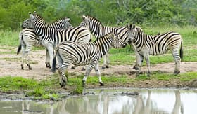 Regent Seven Seas Cruises herd of zebra at watering pond in Umfolozi Game Reserve South Africa