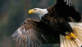 royal caribbean bald eagle in alaska