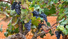 Royal Caribbean grapes in a vineyard Mallorca Spain