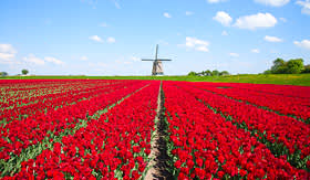 Royal Caribbean red tulips and windmill in Holland