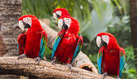 Royal Caribbean scarlet macaws perched on branch