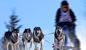 royal caribbean sled dog race alaska