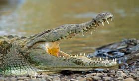 Royal Caribbean Tarcoles River crocodile tour