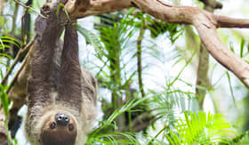Royal Caribbean three toed sloth in Panama jungle