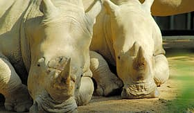 Seabourn rhinoceros lying in the sun