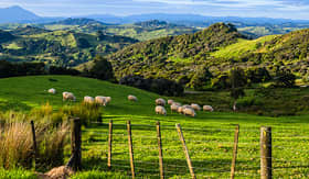 Seabourn sheep grazing in New Zealand