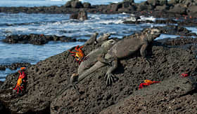 Silversea Cruises marine iguana in Santa Cruz Island, Galapagos Islands