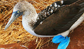 Blue-footed boobies of the Galapagos Islands