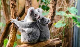 Koalas in Australia - Viking Oceans