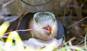 Penguin in New Zealand - Viking Oceans