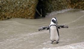 Magellan Penguin on Beach  - Viking Oceans