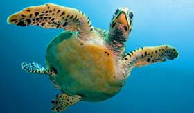 Sea Turtle - Viking Oceans