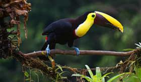 Toucan in Panama - Viking Oceans
