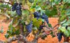 Vineyard in Mallorca Spain Royal Caribbean