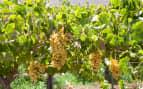 Vineyard Elqui Valley Chile Celebrity Cruises