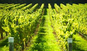Vineyard in Tournon, France
