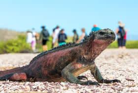 Galapagos Iguana - Courtesy of Silversea Cruises