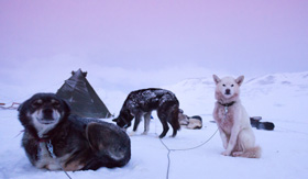 Sled dogs in Svalbard