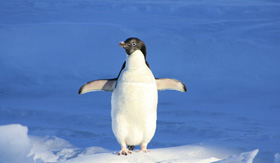A penguin on Hinlopen Strait