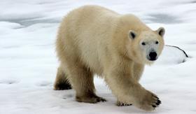 A polar bear roaming arctic terrain