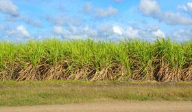 A Dominican sugar cane field