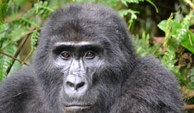 A mountain gorilla in the jungle
