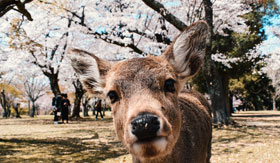 Friendly deer in Nara