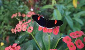 Butterfly in Key West Butterfly Garden