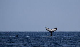 Breaching whale off Argentinian coast