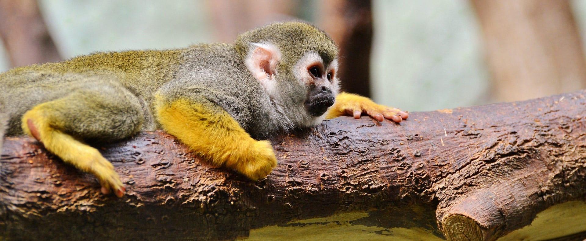 Capuchin Monkey by the Panama Canal