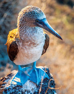 Blue-footed booby. Image courtesy of Celebrity Cruises.