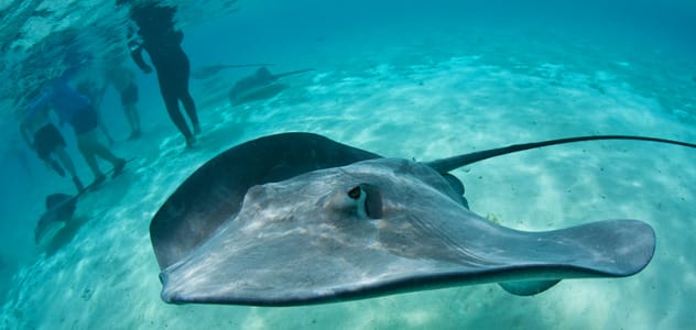Stingrays in the South Pacific