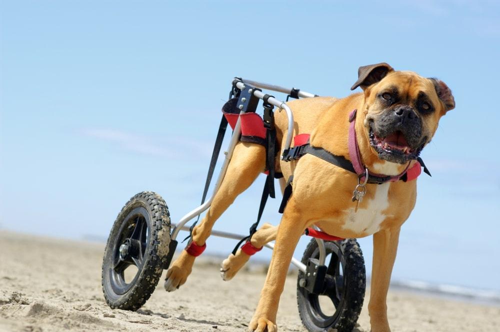 wheels for dog