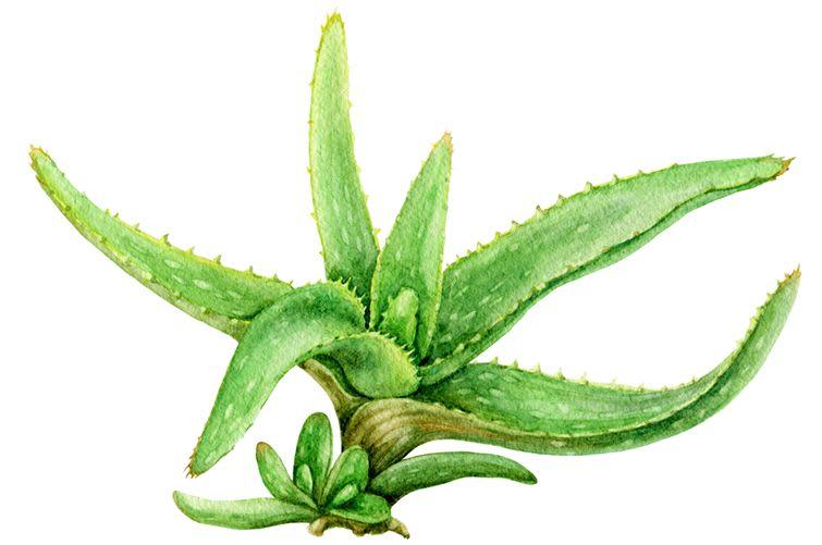 Indian Aloe Vera