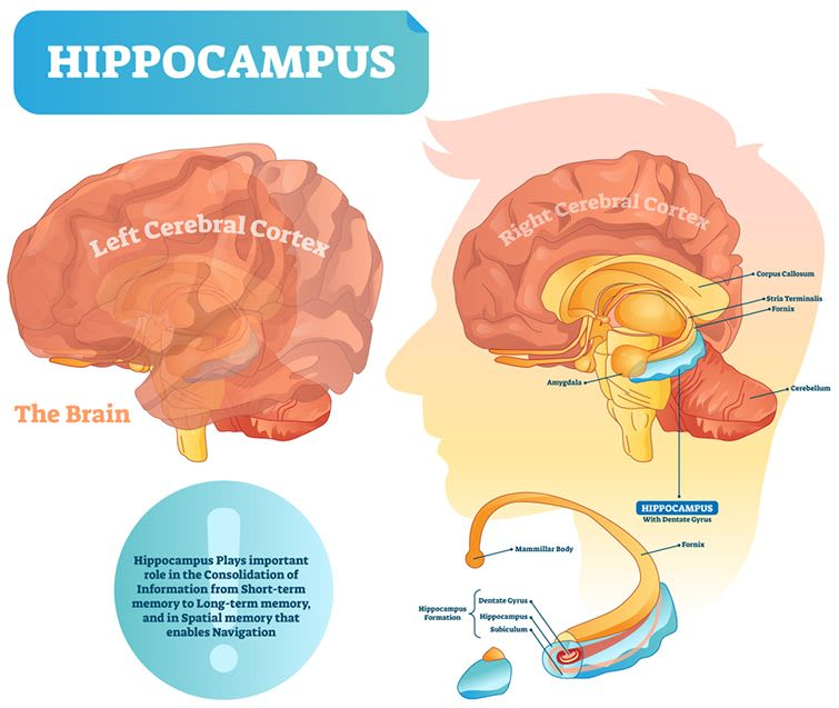 Hippocampus is a brain structure which is embedded into the temporal lobe.