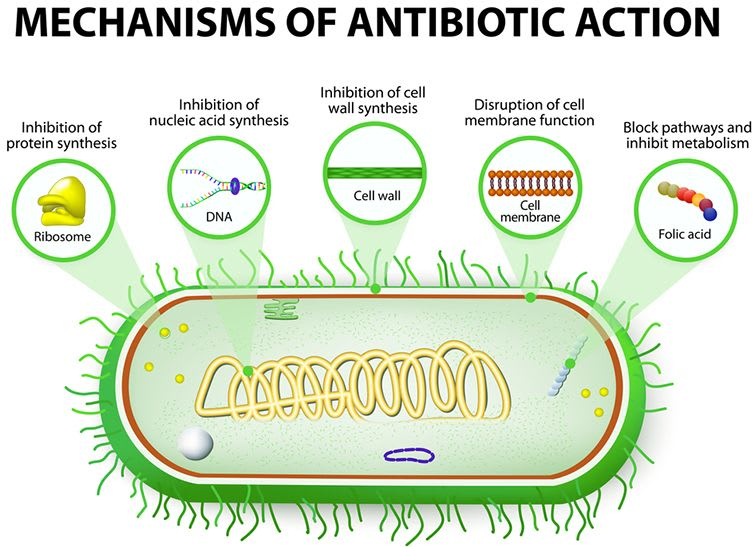 Mechanisms Of Antibiotic Action