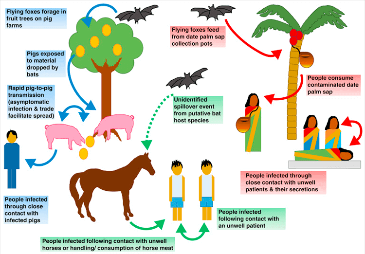 What Is Nipah Virus, How Is It Normally Diagnosed And Treated, Can It Be Stopped Or Prevented