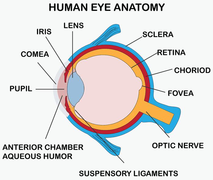 Human Eye Anatomy, What Is Eye Donation