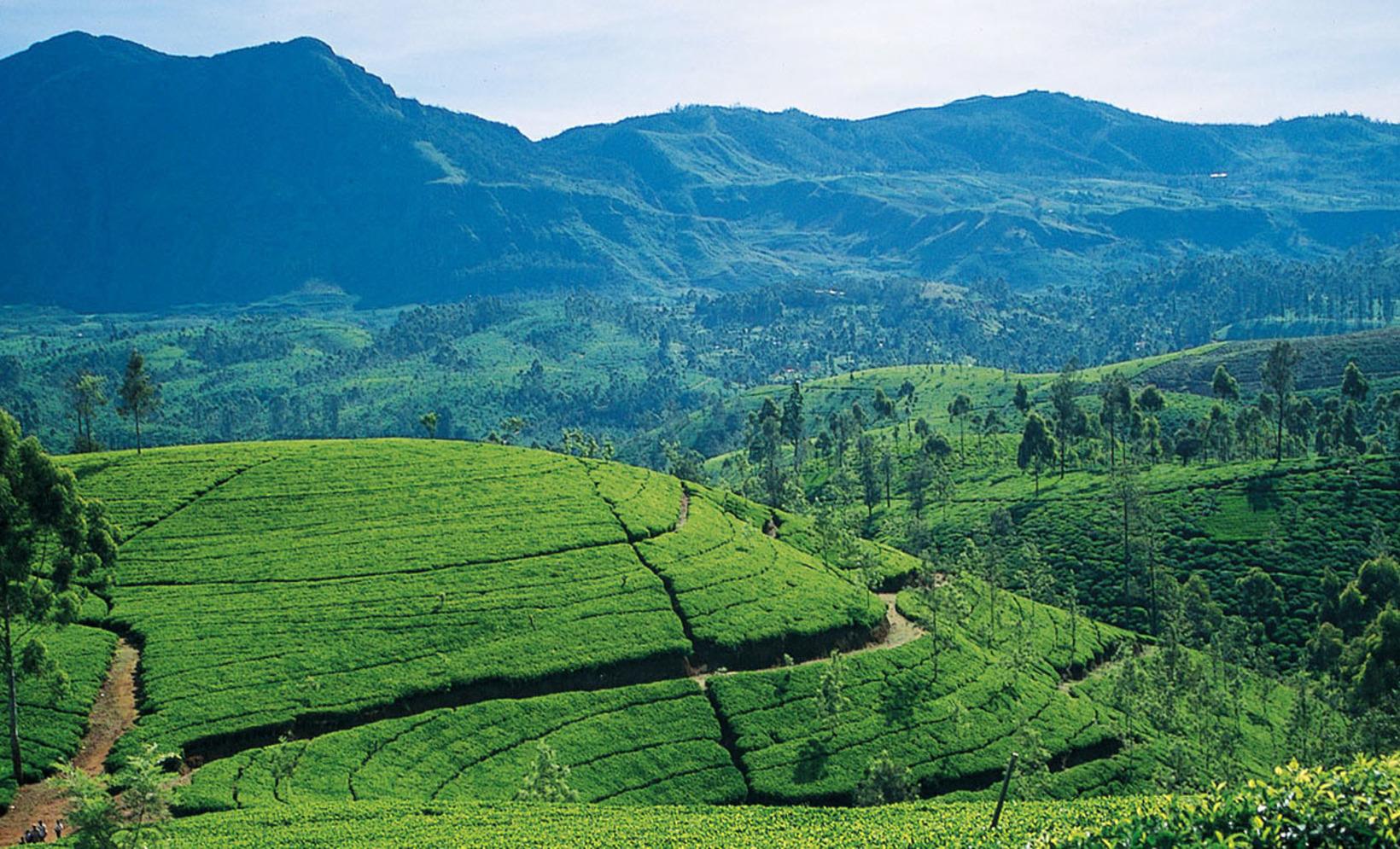 James Taylor Tea Estate From Kandy