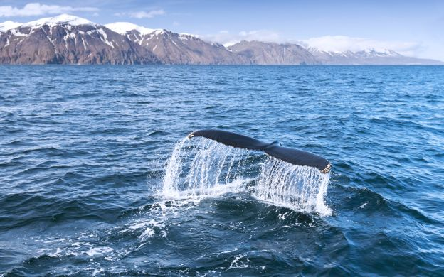 Iceland Whale Watching with Golden Circle Afternoon Tour
