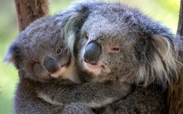 Saver Combo: Penguin Parade, Puffing Billy Train Ride & Healesville Sanctuary