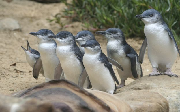 Afternoon Phillip Island Penguins Direct Tour