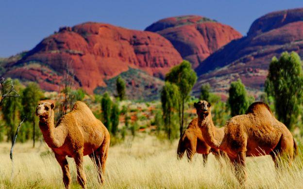 45 Minute Express Camel Ride, Uluru