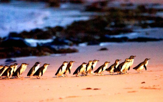 Phillip Island Ultimate Eco Tour: Penguin Parade, Churchill Island & Koalas