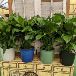Peace Lily Plant (Spathiphyllum)
