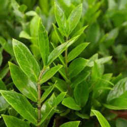 ZZ Plant, Zamia(Zamioculcas zamiifolia)