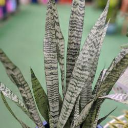 Snake Plant (Sansevieria zeylanica)