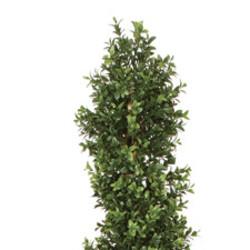 "Boxwood Plant Spiral 70"""