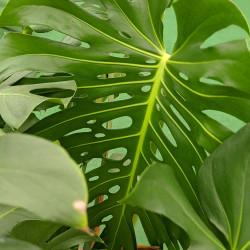 Split Leaf Philodendron, Monstera (Monstera deliciosa)